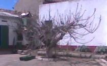 Árbol en santa Eufemia del Arroyomia